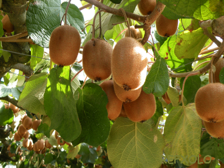 Feeding Guava Trees  Gardening Know How